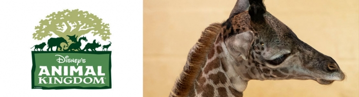 Masai-Giraffe entbindet im Disneys Animal Kingdom